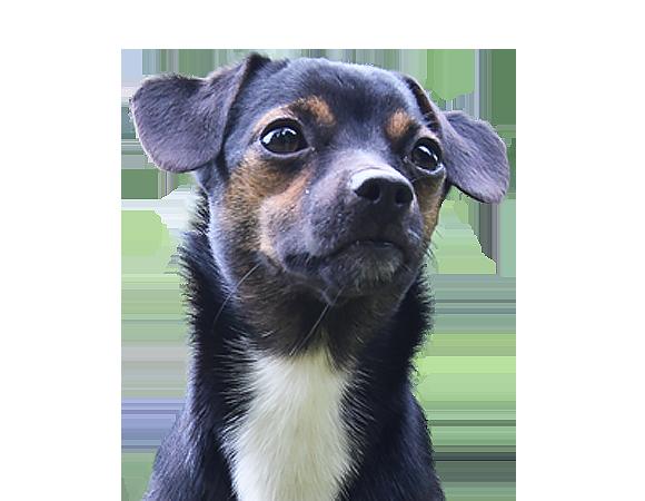zahnsteinentfernung beim hund sinnvoll